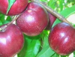 Nettarina a polpa gialla Nectavigne - Plantgest.com