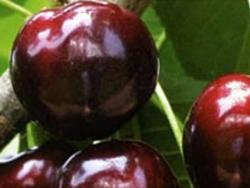 Ciliegio dolce Merchant - Plantgest.com