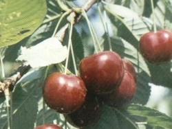 Ciliegio dolce Schneiders Spate Knorpel - Plantgest.com