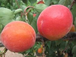 Albicocco S265-13 - Plantgest.com