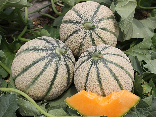 Melone Iperione F1 - Plantgest.com