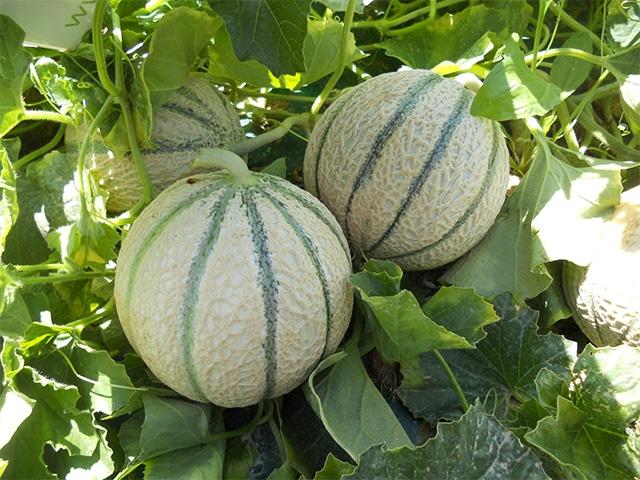 Melone Kadenza F1 - Plantgest.com
