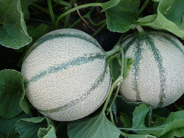 Melone Kabayon F1 - Plantgest.com