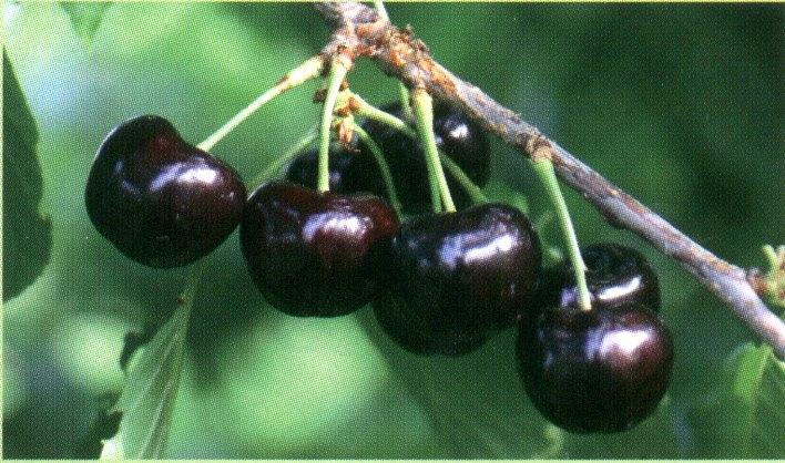 Ciliegio dolce Vera - Plantgest.com