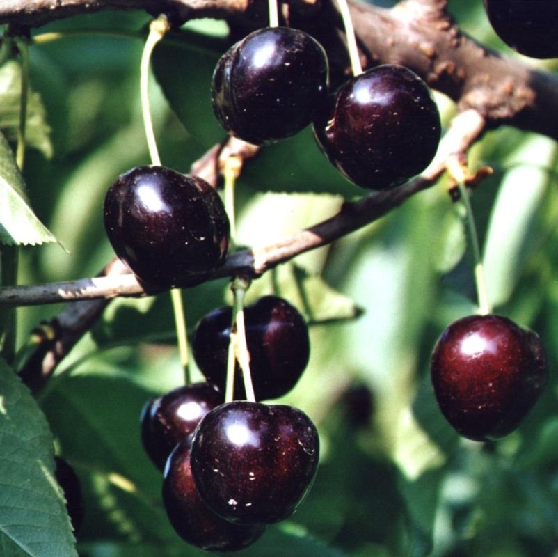 Ciliegio dolce Vanda - Plantgest.com