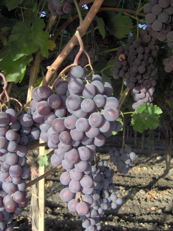 Red globe vite per uva da tavola plantgest - Potatura vite uva da tavola ...