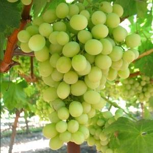 Superior seedless vite per uva da tavola plantgest - Uva da tavola precoce ...