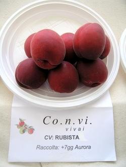 Albicocco Rubista - Plantgest.com