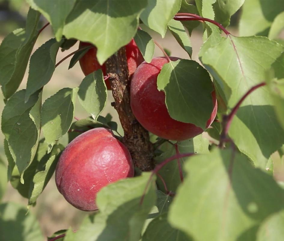 Albicocco Rubilis - Plantgest.com