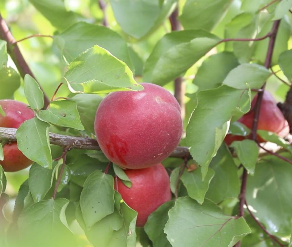 Albicocco Rubissia - Plantgest.com
