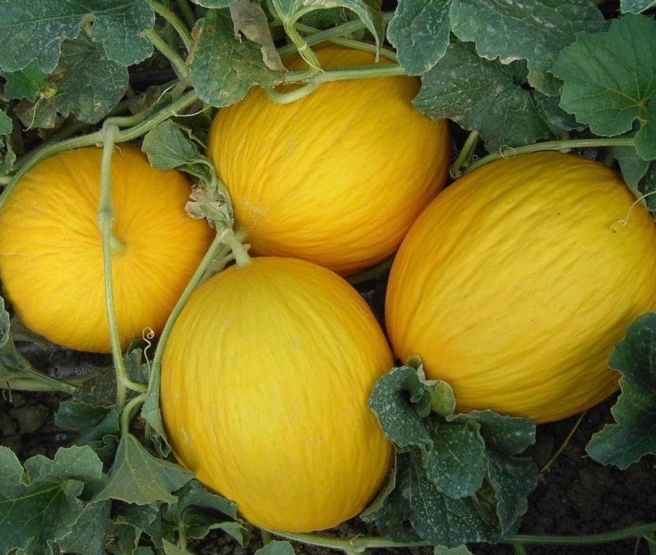 Melone Bimbo F.1 - Plantgest.com