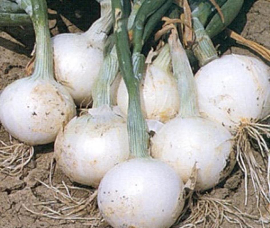 Cipolla Bianca di Maggio - Plantgest.com