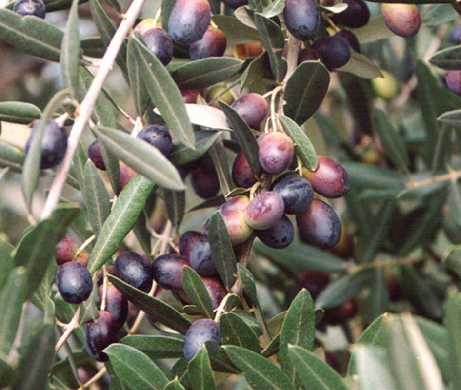 Olivo da mensa Leccino - Plantgest.com