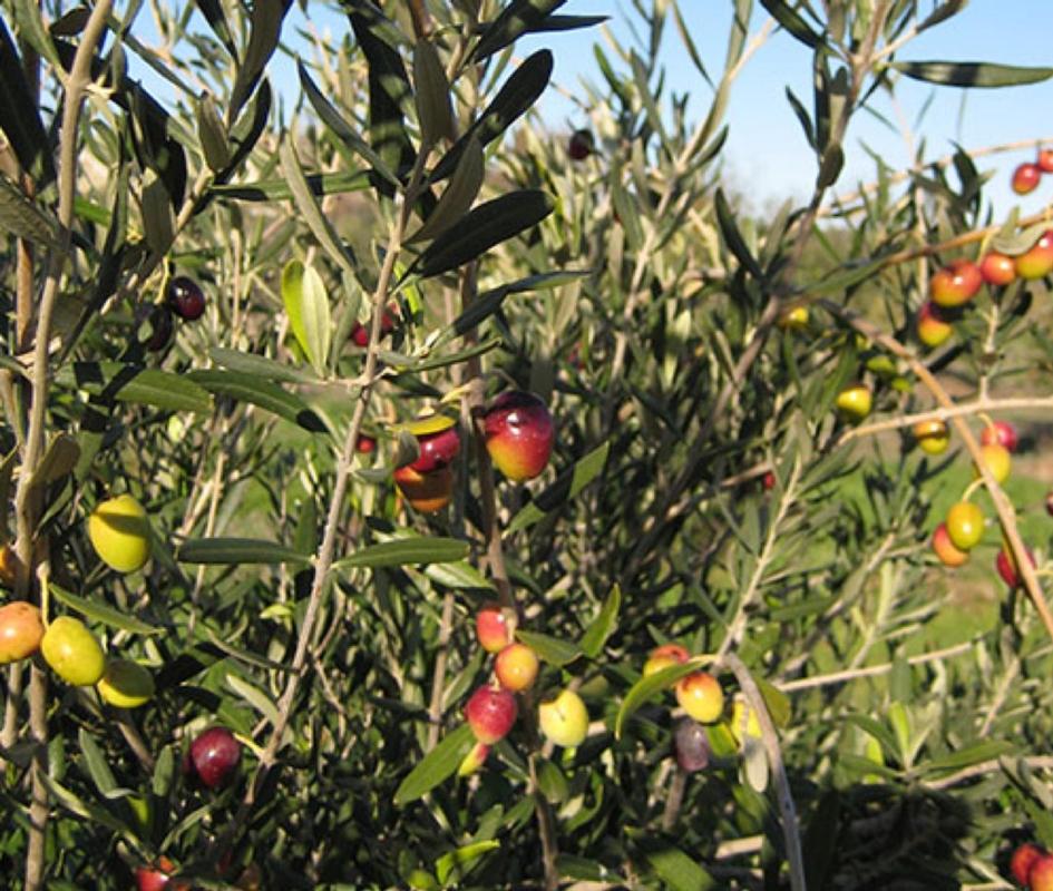 Olivo da olio Coratina - Plantgest.com