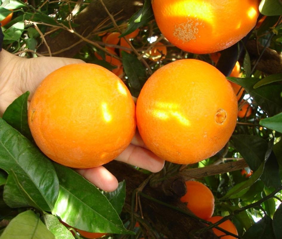 Arancio dolce Navelina V.C.R. - Plantgest.com