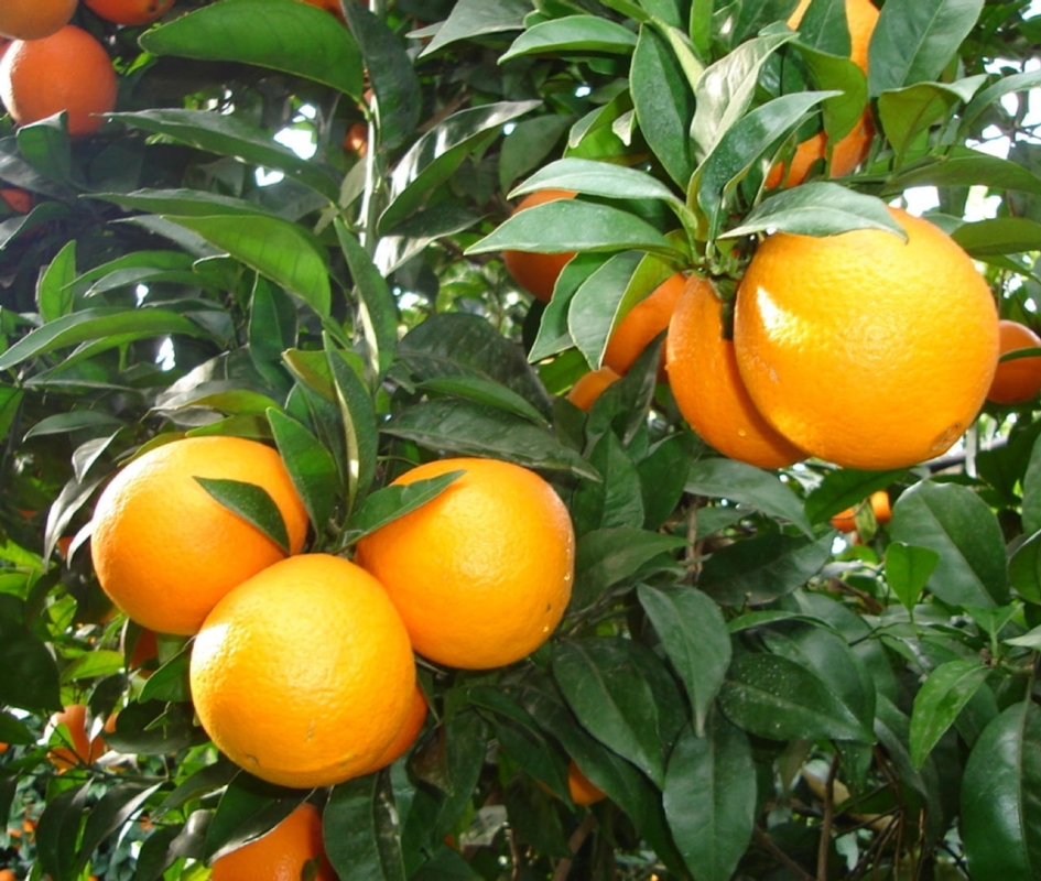 Arancio dolce Newhall - Plantgest.com