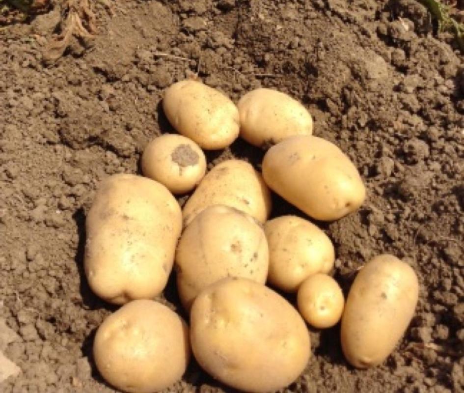 Patata Gisele - Plantgest.com