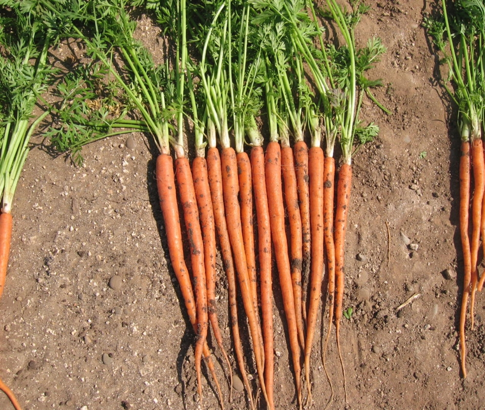 Carota Interceptor F1 - Plantgest.com