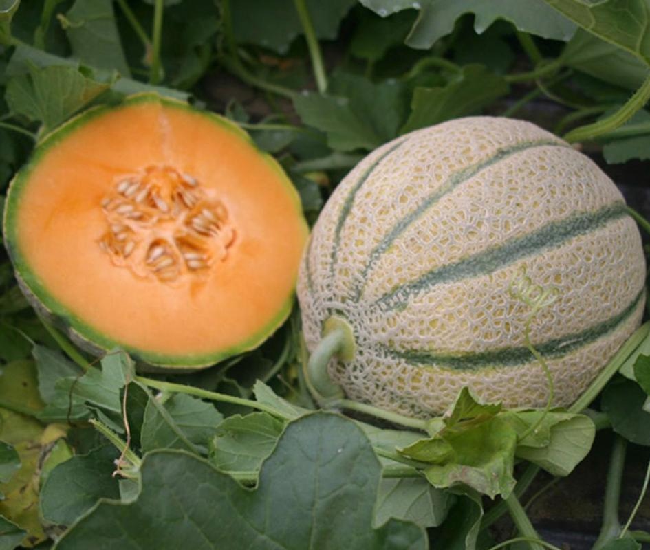 Melone Silarius F1 - Plantgest.com