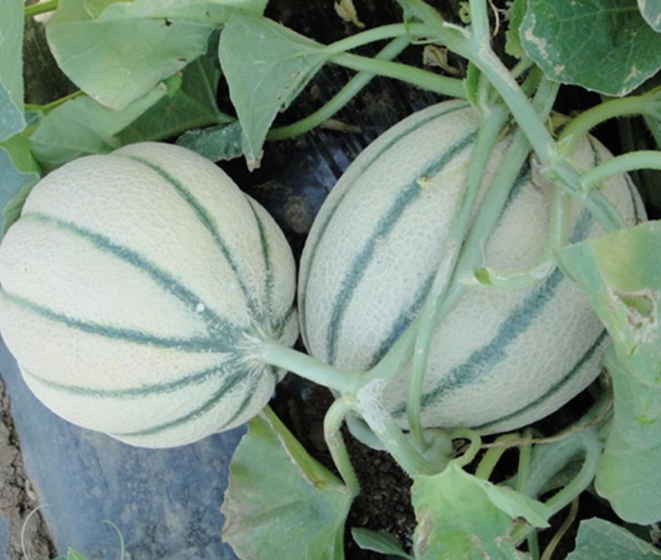 Melone Venturo F1 - Plantgest.com