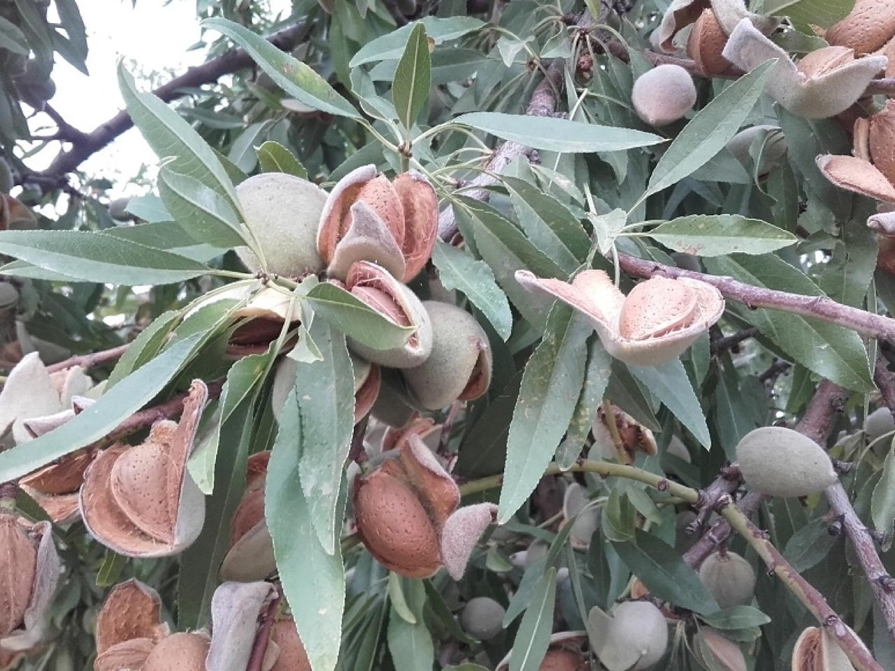 Mandorlo Makako - Plantgest.com