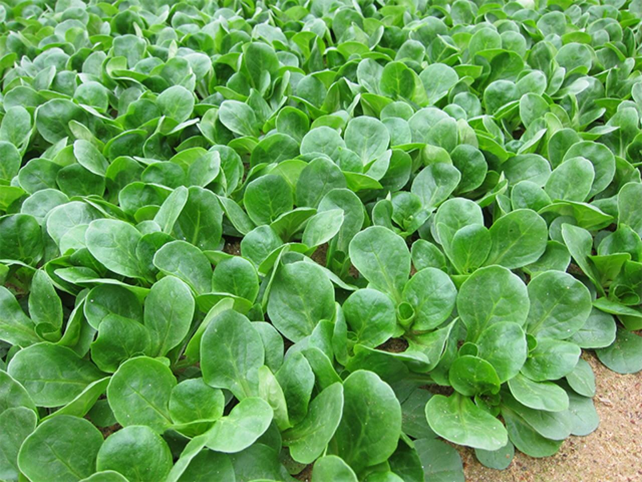 Dolcetta o valerianella Amely - Plantgest.com
