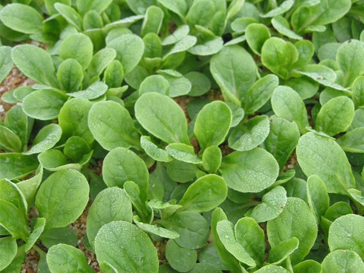 Dolcetta o valerianella Juvert - Plantgest.com