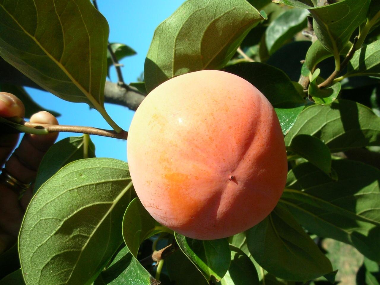 Loti o kaki Ribera Sun - Plantgest.com