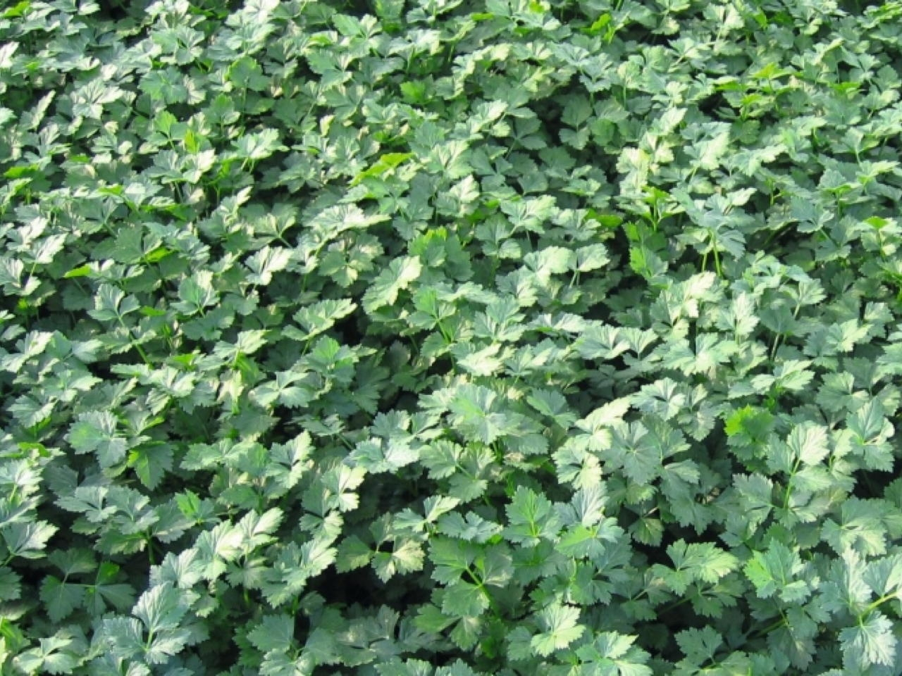Prezzemolo Titan - Plantgest.com