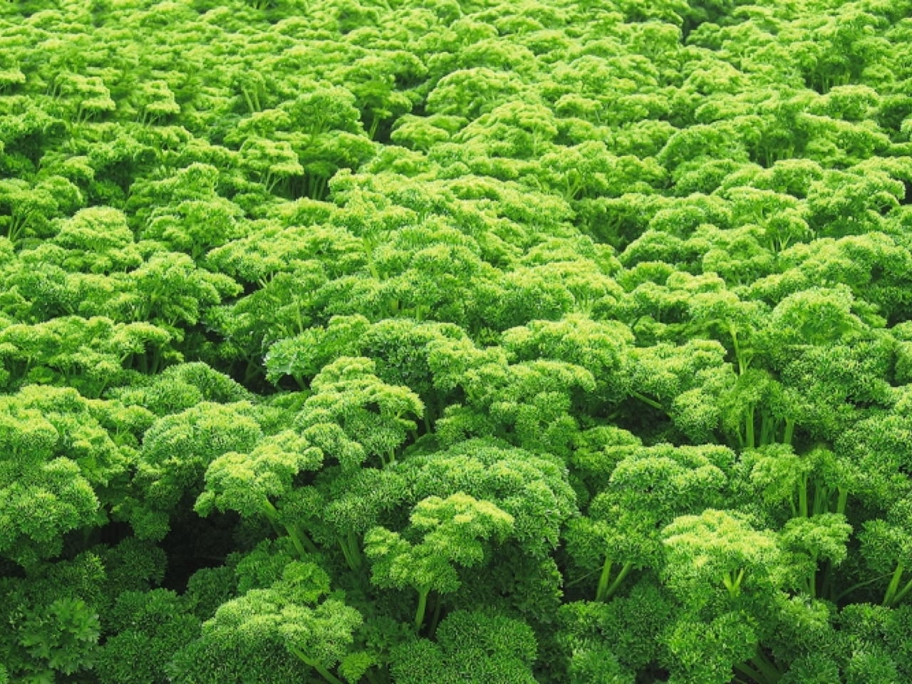Prezzemolo Moss Curled 2 - Plantgest.com