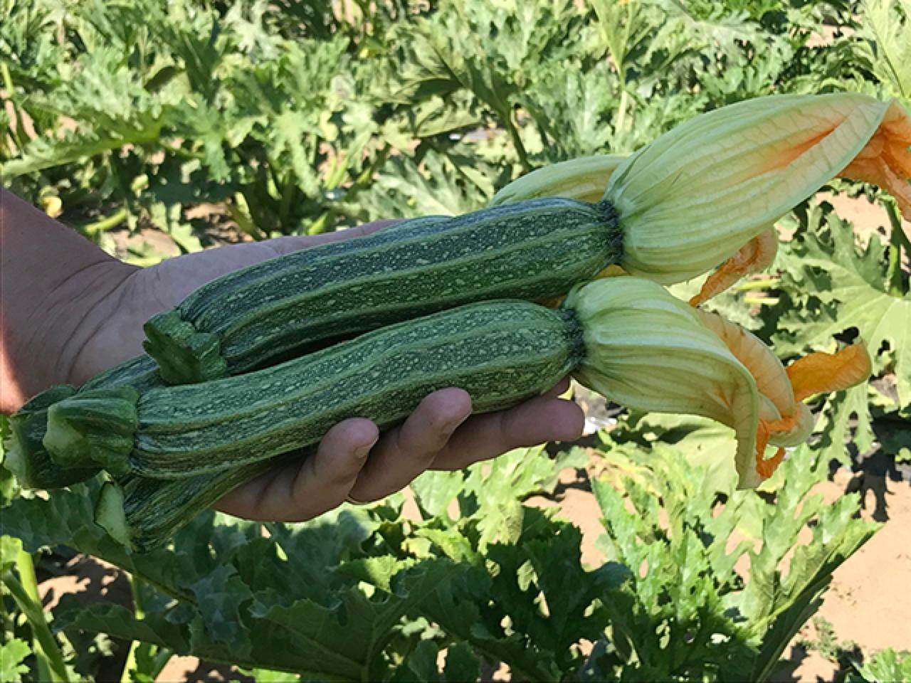 Varietà Zucchine Da Fiore marzio f1 - zucchino - plantgest