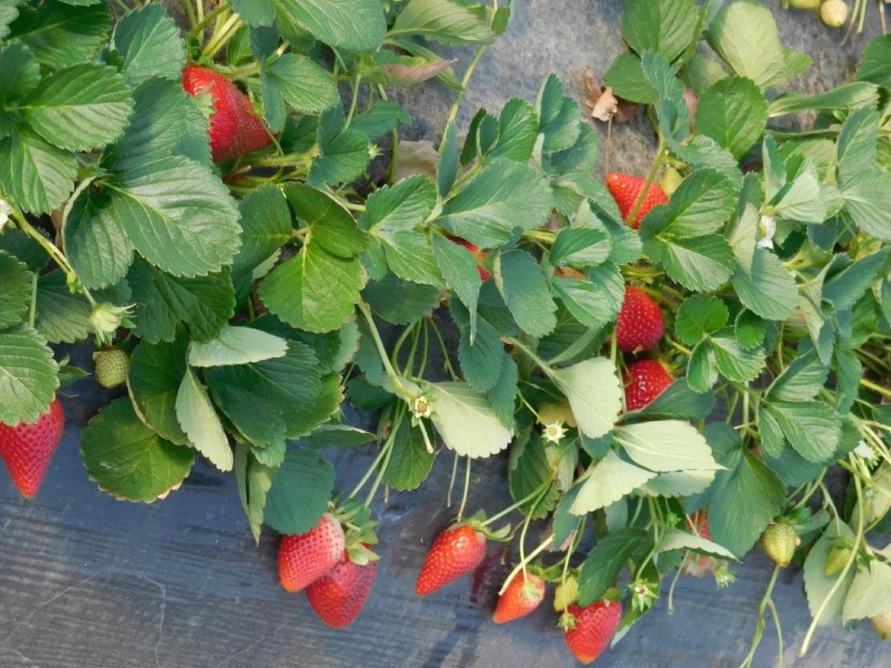 Fragola Parthenope - Plantgest.com